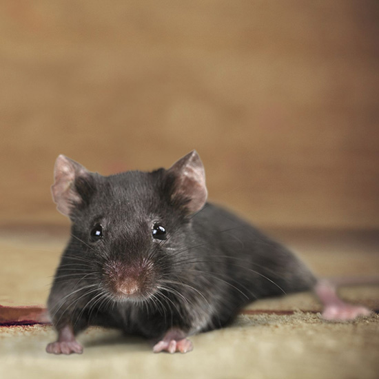 All Pro Pest Control Specializes In Roof Rat Removal Throughout The Seattle  Area