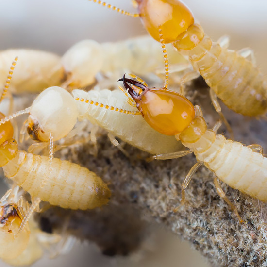 Seattle Termite Control | All-Pro Pest Control
